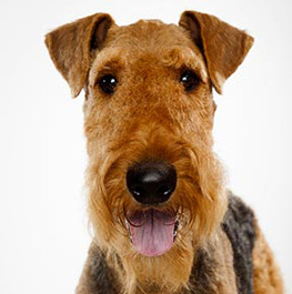 Photo of dog airedale terrier